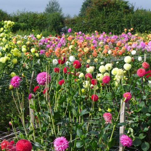 Field of Dahlias- using them in your garden design