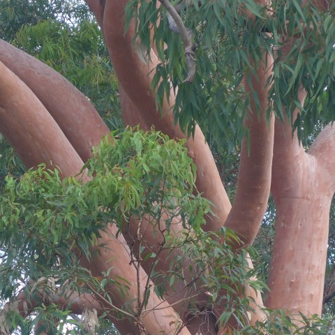 Garden Design- using Eucalyptus