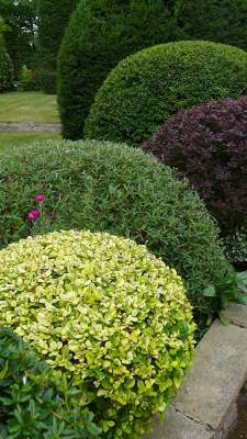 ball shrubs